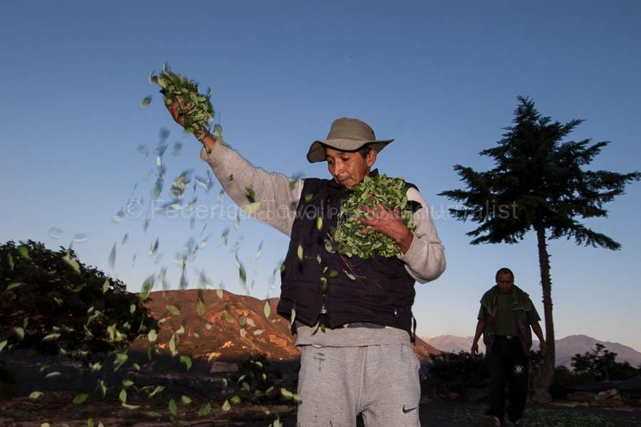 Spargendo foglie di coca